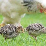 chicks-1415257_640